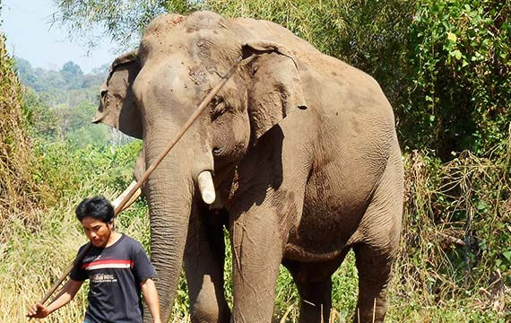 Elephant at Kulen-Protep Sanctuary Cambodia