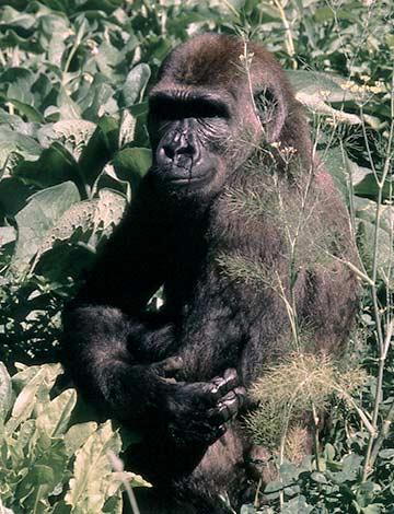 Lowland Gorilla, Melbourne Zoo
