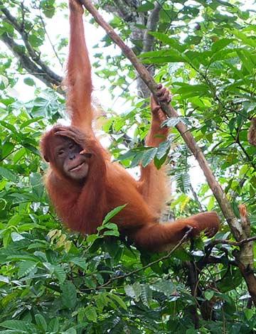 Orangutans at Haven North Sumatra