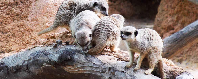 Meerkats Royal Children's Hospital