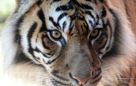 Sumatran Tiger Taronga Zoo
