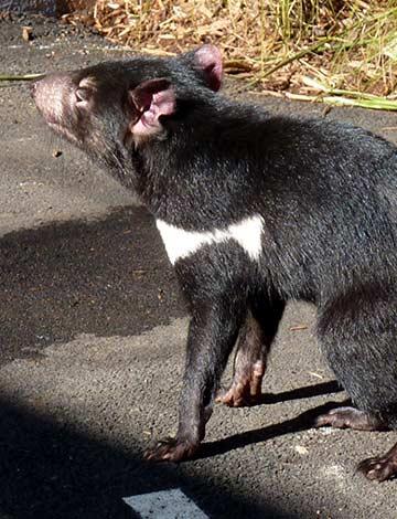 Tasmanian Devil, Taronga Zoo