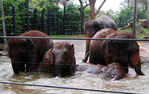 Elephants at Wild Asia Taronga Zoo